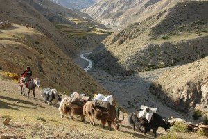 Yak caravan near Saldang in Upper Dolpo. Photo: Carsten.nebel (www.myhimalayas.com)