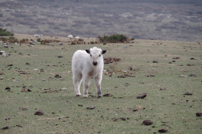 A baby yak on the route to Langshisha Kharka.